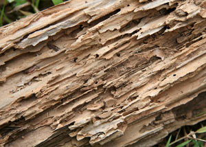 Termite-damaged wood showing rotting galleries outside of a Buffalo Grove home